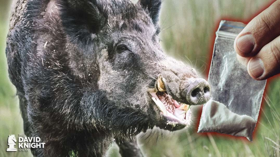 Feral Hogs in Italy Get High on Cocaine Stash